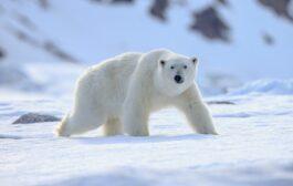 كندا توفر رادارات وكاميرات لمراقبة الدب القطبي خوفا من الانقراض