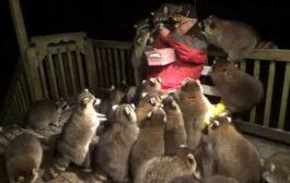 تنفيذا لوصية زوجته.. كندي يطعم عشرات الراكون يوميا لمدة 20 عاما