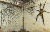 مصور كندي يعثر على أحد أخطر العناكب في العالم تحت سريره